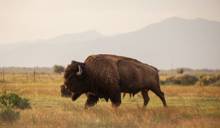 Zapata Ranch- Bison at Sunset